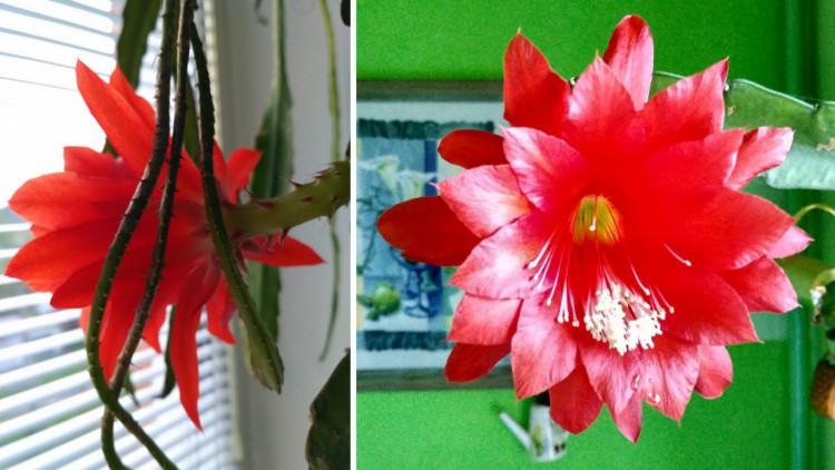 Цветёт эпифиллум